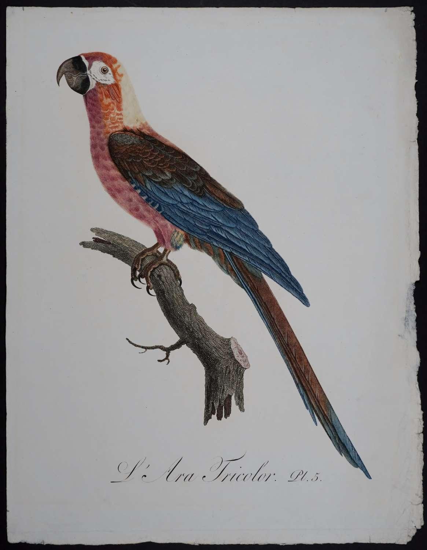 L'Ara Tricolor. Pl. 5. by Jacques Barraband