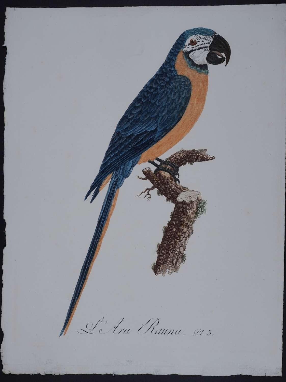 L'Ara Rauna . Pl. 3. by Jacques Barraband